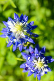 Texas Bluebonnets royaltyfria foton