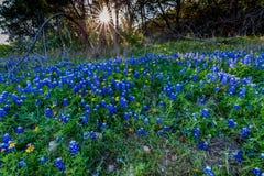 Texas Bluebonnets alla curvatura di Muleshoe nel Texas Fotografie Stock Libere da Diritti