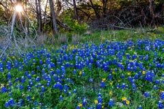 Texas Bluebonnets alla curvatura di Muleshoe nel Texas Immagine Stock Libera da Diritti