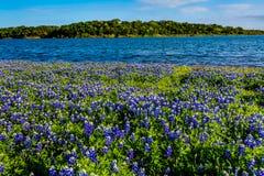 Texas Bluebonnets au lac Travis à la courbure de Muleshoe dans le Texas photographie stock