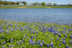 Texas Bluebonnets auf dem See stockbild