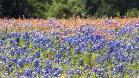 Texas Bluebonnets Bathed in Late Afternoon Sunshine royalty free stock image