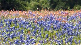 Texas Bluebonnets Bathed na luz do sol do fim da tarde imagem de stock royalty free
