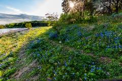 Texas Bluebonnets bij Muleshoe-Kromming in Texas royalty-vrije stock foto's