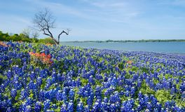 Texas Bluebonnets blooming by a lake in spring Royalty Free Stock Photo