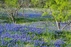 Texas bluebonnets blooming in the spring. Bluebonnets, the state flower of Texas, blooming in the spring Royalty Free Stock Photo
