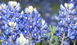 Texas Bluebonnets. In Brenham fields in springtime stock image