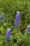 Texas Bluebonnets. Close up of bluebonnets in Texas in the spring Royalty Free Stock Photography