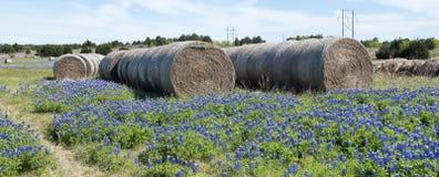 Texas bluebonnets in farm field. Royalty Free Stock Photo