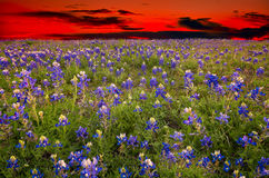 Texas Bluebonnets at Dusk Stock Images