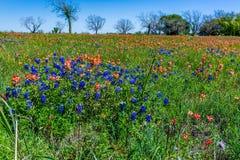 Texas Bluebonnets et pinceau stupéfiants dans un domaine photo stock