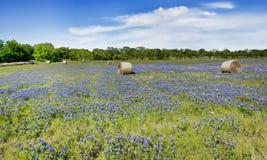 Texas bluebonnets in farm field. Stock Photography