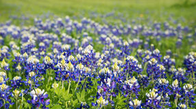 Texas bluebonnets field blooming Stock Photos