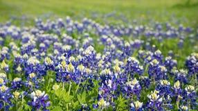 Texas bluebonnets field blooming Stock Photos
