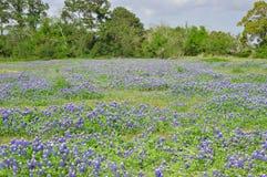Texas bluebonnets. Bluebonnets in a Texas field.  Taken in League City, Texas Stock Images
