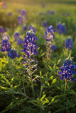 Texas bluebonnets. Bluebonnets in a Texas field.  Taken in League City, Texas at sunset Royalty Free Stock Photography