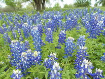 Texas Bluebonnets. A field of the Texas state flower, the bluebonnet, in an area close to Central Texas Stock Photography