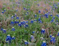 Texas Bluebonnets i ett f?lt royaltyfri foto