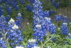 Texas bluebonnets i fält arkivbilder