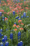 Texas Bluebonnets & Indian Paint Brushes. Bluebonnets and Indian Paint Brushes are very populous along the Texas roadways this year (2010 Stock Images