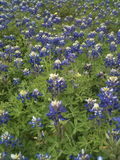Texas Bluebonnets Stock Photo