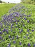 Texas Bluebonnets längs de Texas huvudvägarna Royaltyfria Bilder
