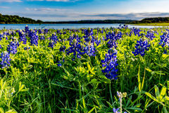 Texas Bluebonnets at Lake Travis at Muleshoe Bend in Texas. Stock Photography