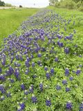 Texas Bluebonnets le long des routes du Texas Images libres de droits