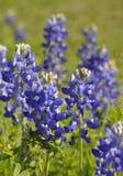 Texas-Bluebonnets (Lupinus texensis) Lizenzfreie Stockbilder