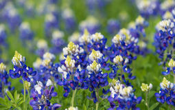 Texas bluebonnets (Lupinus texensis) blooming on meadow. Texas bluebonnet (Lupinus texensis) flowers blooming on the spring meadow stock images