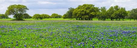 Texas Bluebonnets Panorama Stock Photo