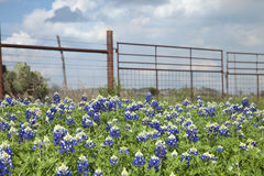 Texas bluebonnets and ranch fence in the hill country of Texas Stock Image