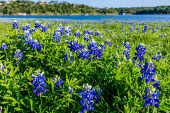 Texas Bluebonnets am See Travis an Muleshoe-Biegung in Texas lizenzfreie stockbilder