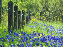 Texas bluebonnets in spring Stock Photo