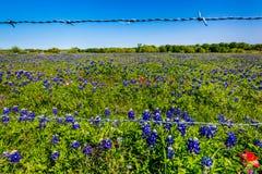 Texas Bluebonnets stupéfiant images stock