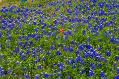 Texas Bluebonnets stupéfiant photos libres de droits