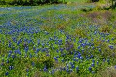 Texas Bluebonnets stupéfiant photo libre de droits