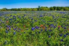 Texas Bluebonnets stupéfiant dans un domaine photos libres de droits