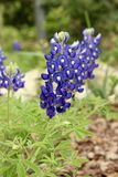 Texas Bluebonnets Stock Photography
