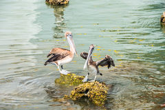 Texas Brown Pelicans. Two brown pelicans standing on shell encrusted rocks exposed at low tide royalty free stock photo