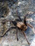 Texas Brown Tarantula. Sitting in a rock crag in Driftwood Texas Stock Image