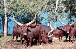Texas bull Royalty Free Stock Image