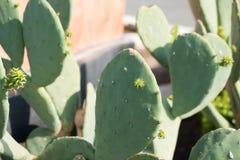 Free Texas Cactus Flower Royalty Free Stock Photos - 116353748