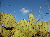 Texas cactus Royalty Free Stock Image