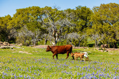 Texas cattle family Royalty Free Stock Images