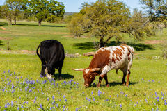 Texas cattle grazing Stock Image