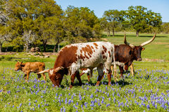 Texas cattle grazing Stock Photography