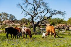 Texas cattle grazing Stock Photos
