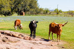Texas cattle grazing Royalty Free Stock Photo