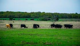 Texas Cattle op een Open Boerderij in de Lente Stock Fotografie